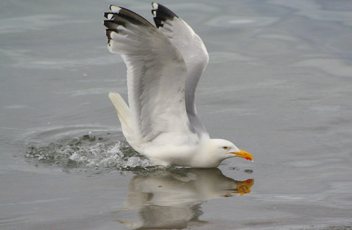Gull and reflection | by catb -