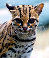 Margay | by sparky2000