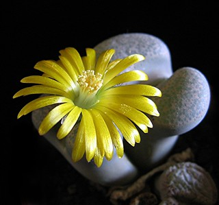 Flowering 'stones' - Lithops | by Mary Faith.
