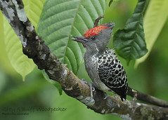 Grey-and-buff Woodpecker | by GARY ALBERT NATUREPIX