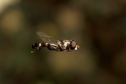 There's only one thing stops a hoverfly in mid flight.. Male hoverfly Syritta pipiens | by Lord V