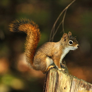 Squirrel @ Shubie Park (20070927-141439-PJG) | by DrgnMastr