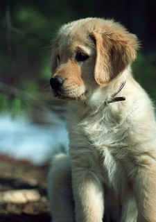 Sadie - Golden Retriever Puppy | by thewentworths1