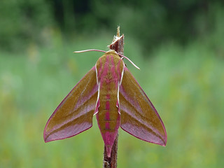 The Elephant Hawk-moth | by Darius Baužys