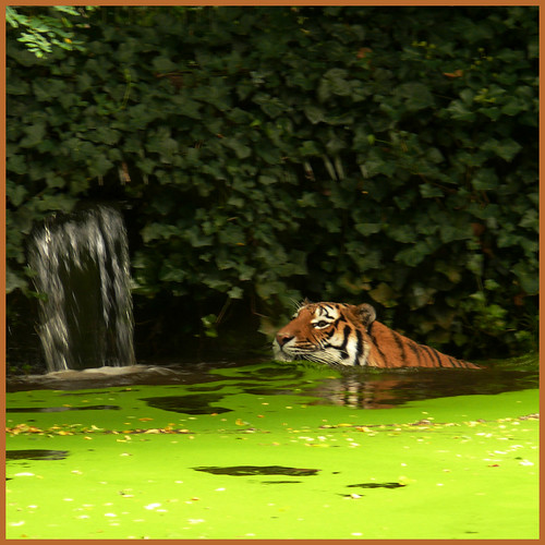 Z = ZOO (Tiger's pool is like green soup) | by Frizztext