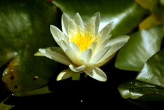 White Waterlily | by littlebiddle