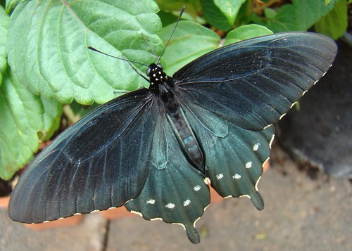 Pipevine Swallowtail 2 | by John_X