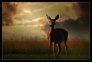 Valley Forge - Morning Doe | by mikonT