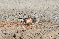 Killdeer-IMG_3424-Campbell-crop | by gimlack