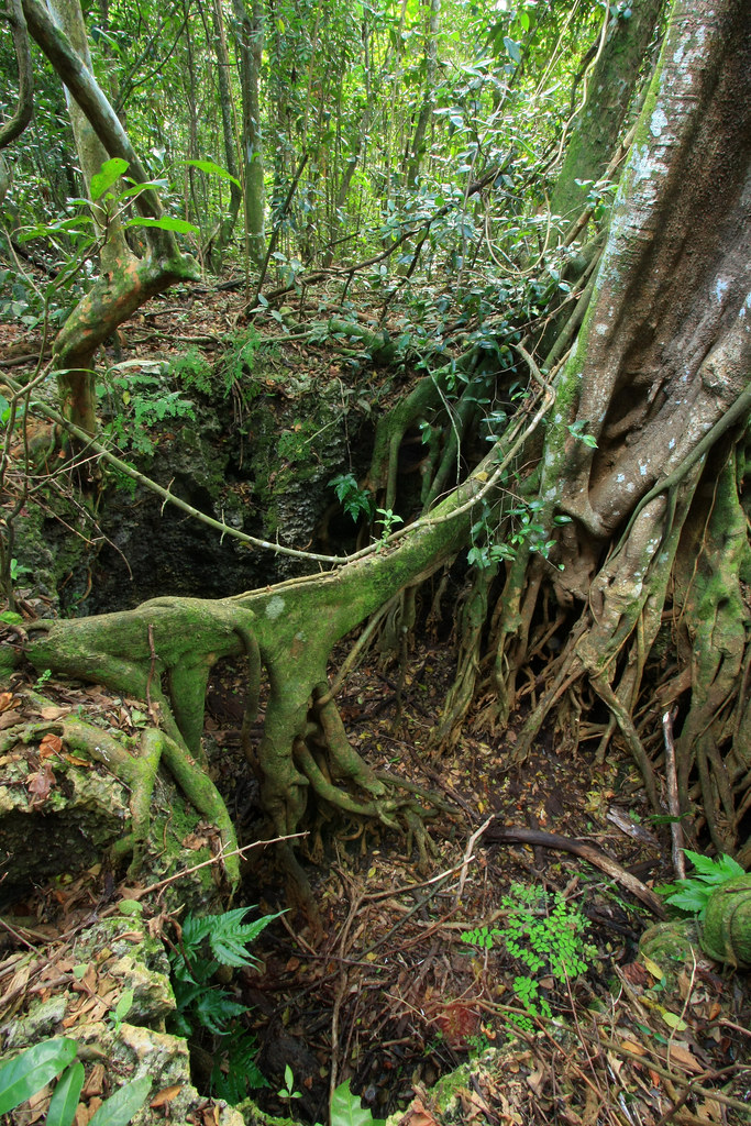 large sinkhole and ficus aurea root castellow hammock park miami dade county large sinkhole and ficus aurea root castellow hammock par u2026   flickr  rh   flickr