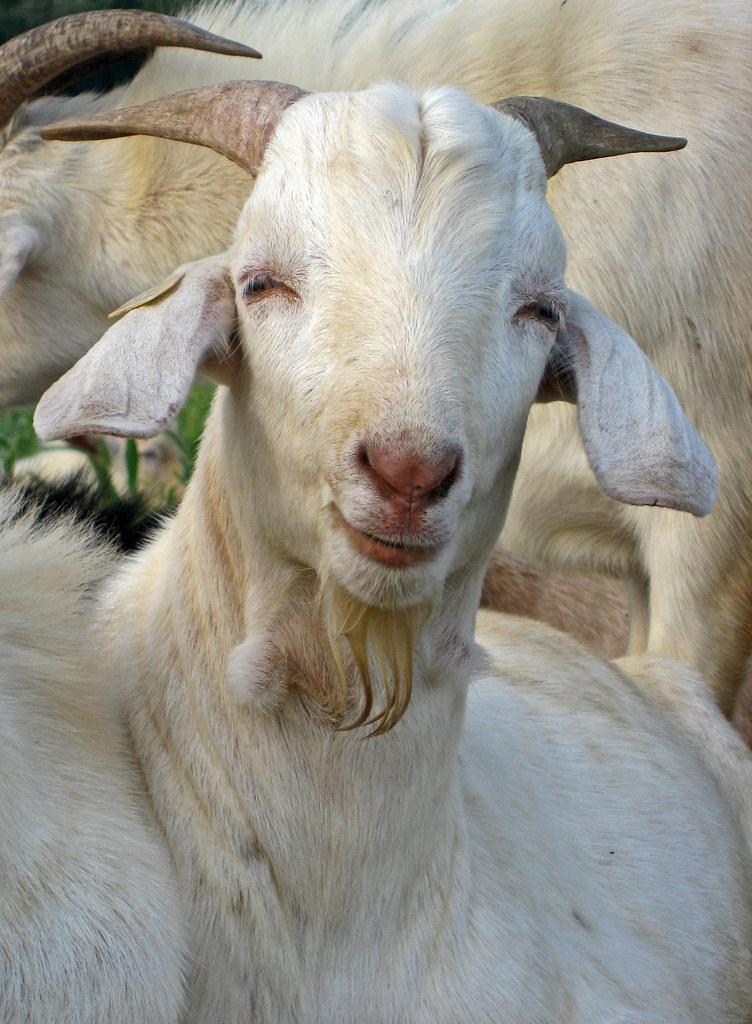 R Goats Goat Test 2006-07 | Fl...