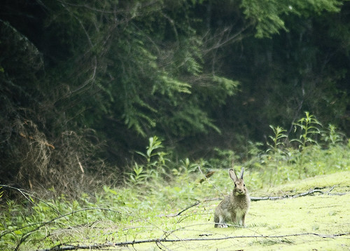 Snowshoe hare swart odfw a snowshoe hare on the bull run for Oregon department of fish and wildlife jobs