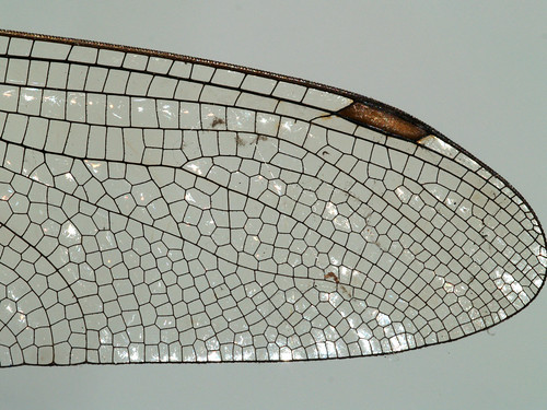 Wing of a dragonfly, detail | by gripspix (OFF)