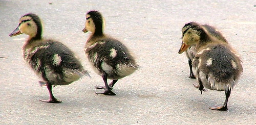 Your Best Foot Forward - By the left....March..:O) - Ducklings - Leeds Castle - Kent, England -  Sunday August 26th 2007 | by law_keven