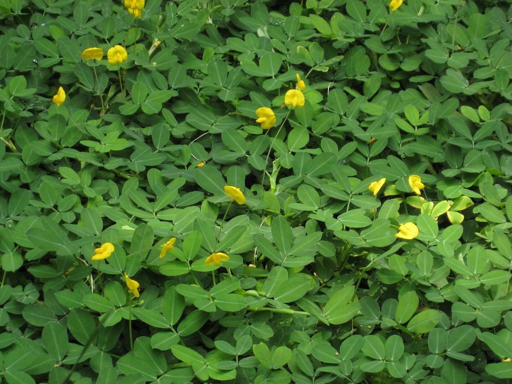 Arachis duranensis Arachis duranensis Family Fabaceae