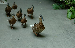 Image of a duck leading other ducks.