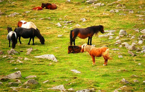 Dartmoor Ponies at Princetown Dartmoor | by Roger's Photos59