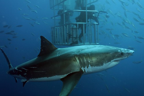 Great White Shark and divers | by nautiluspics.com
