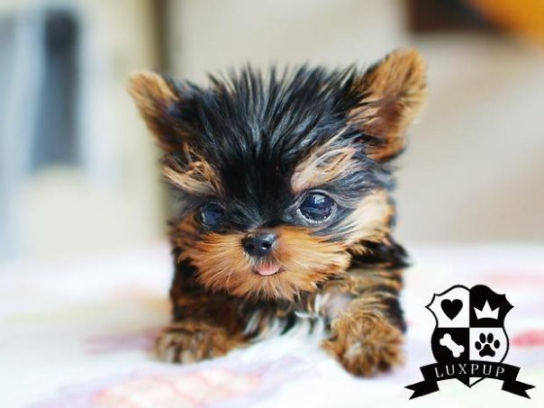 Teacup Yorkie Girl Bringing The Cutest And The Tiniest Pup Flickr