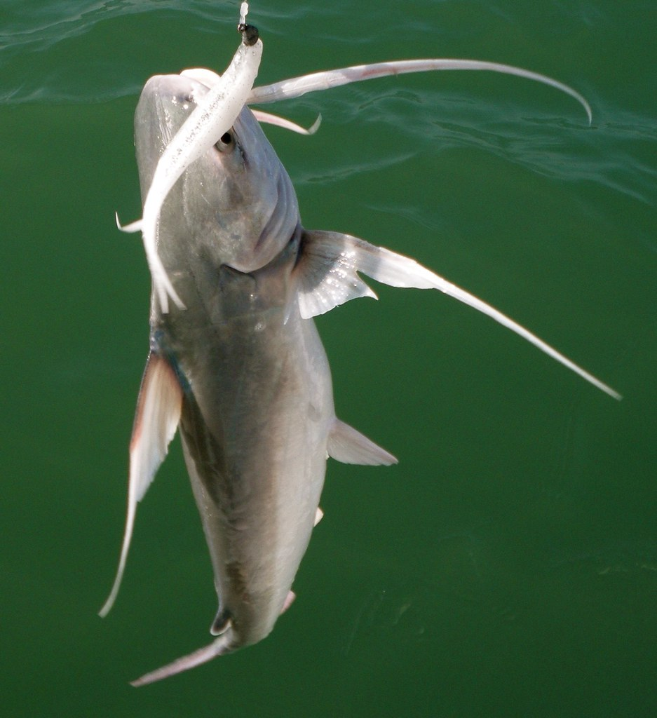 Gafftop fish