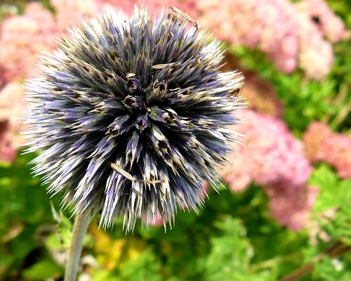 Spiky Blue At The Carl S English Jr Botanical Garden N Flickr