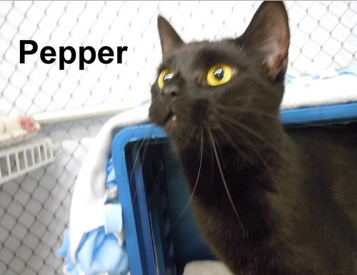 Pepper | by ChemungSPCA