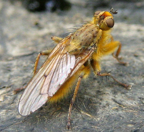 Dung fly | by wheehamx