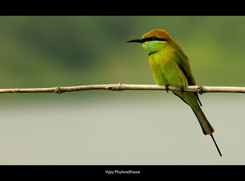 GreenBee Eater.. | by Vijay..