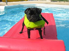 Pug in the pool | by nikoretro