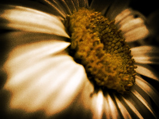 Daisy on the Table, in Sepia | by RichTatum