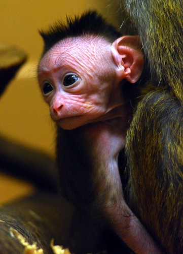 Baby toque monkey | by floridapfe