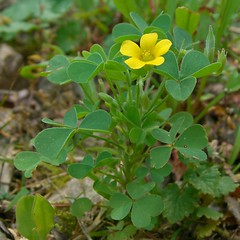 Common Yellow Woodsorrel | by pellaea