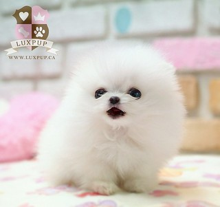 Teacup White Pomeranian | by LuxPup
