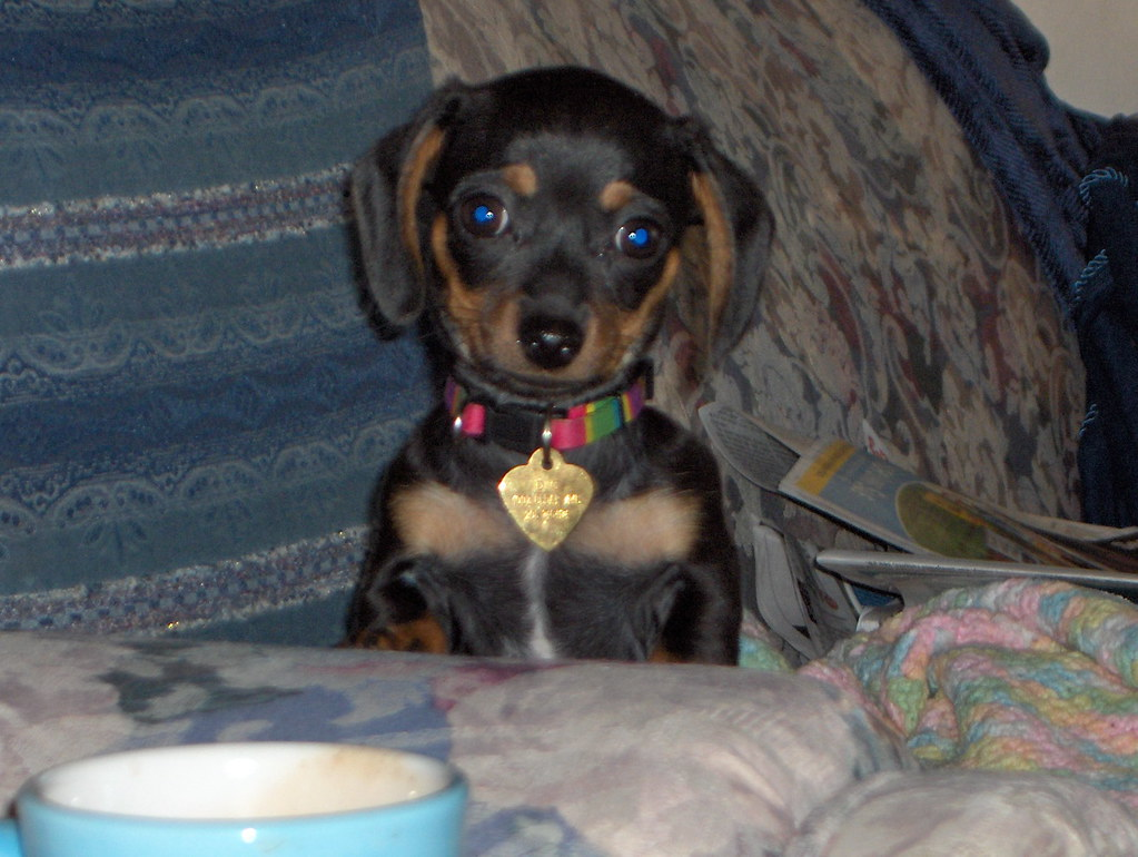 Pics photos dachshund chihuahua dog mix dogs pictures photos pics - Chiweenie By Vernhart Chiweenie By Vernhart