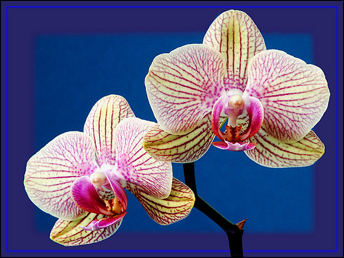ORCHID BLOOMS by peter laws | by pedrol