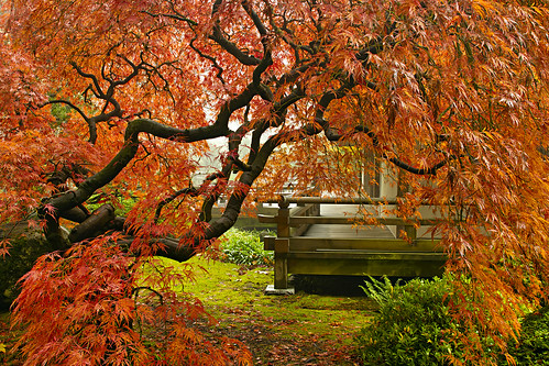 Another Japanese Lace Leaf Maple Tree at Portland Japanese Garden in the Fall | by David Gn Photography