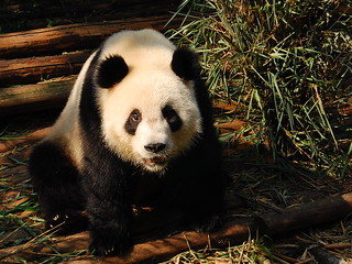 Xiongmao, Panda | by Shadow Self