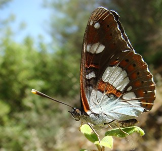 Southern white admiral - Limenitis reducta | by Camerar
