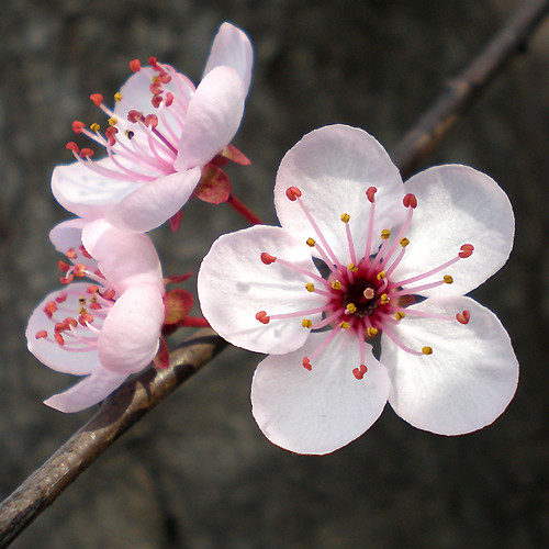 Flores ciruelo flowers ver links for Arbol ciruelo de jardin