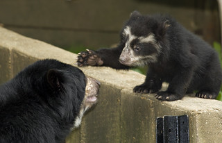 Andean Bears | by Smithsonian's National Zoo