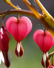 hearts | by withrow