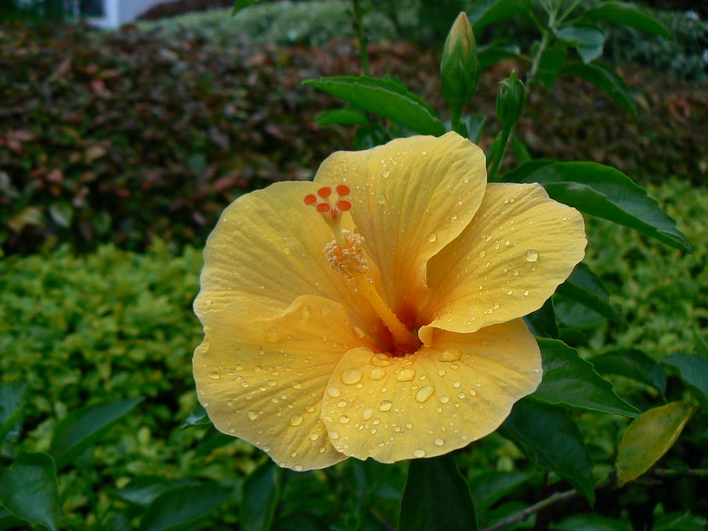 Hibiscus Rosa Sinensis Efloraofindia