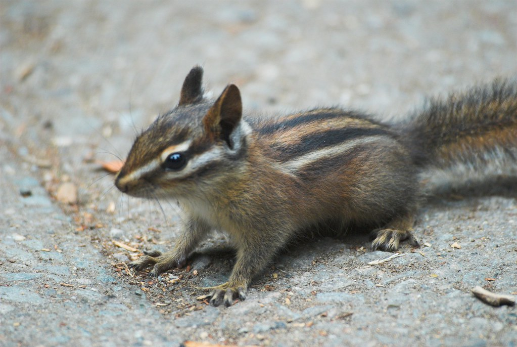 Sonoma Chipmunk observed by johngcramer on April 16, 2011 ...