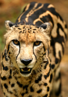 cheetah_king | by robferblue