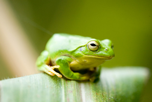 Frog on corn leaf | by Joi