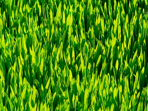wheat grass | by oklo