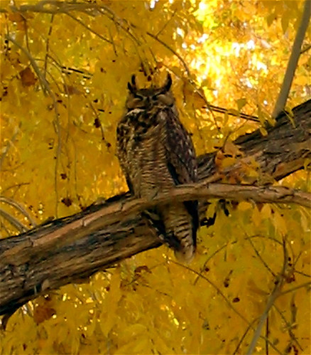 Great Horned Owl | by Kaos2