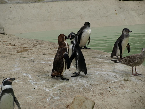 Aninimal Book: Two Penguins Kissing | I managed to get a photo of two ...
