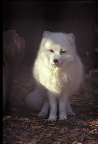 Arctic fox in the sunlight | by howardpennphoto