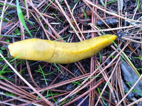 Banana Slug | by Steve Ganz